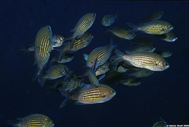 Chromis chromis groupe1