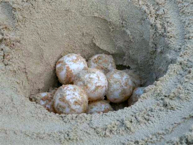 foto uova tartaruga caretta caretta